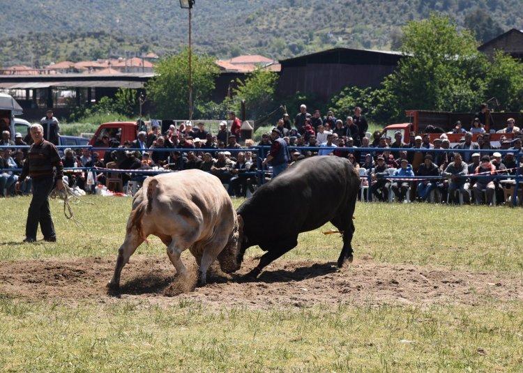 Boğalar, Bafa Zeytinspor Yararına Güreştirildi