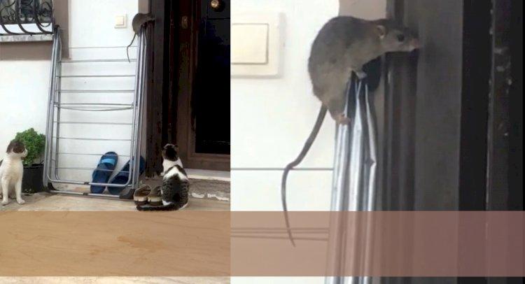 Sabretti, Kedileri Atlattı...